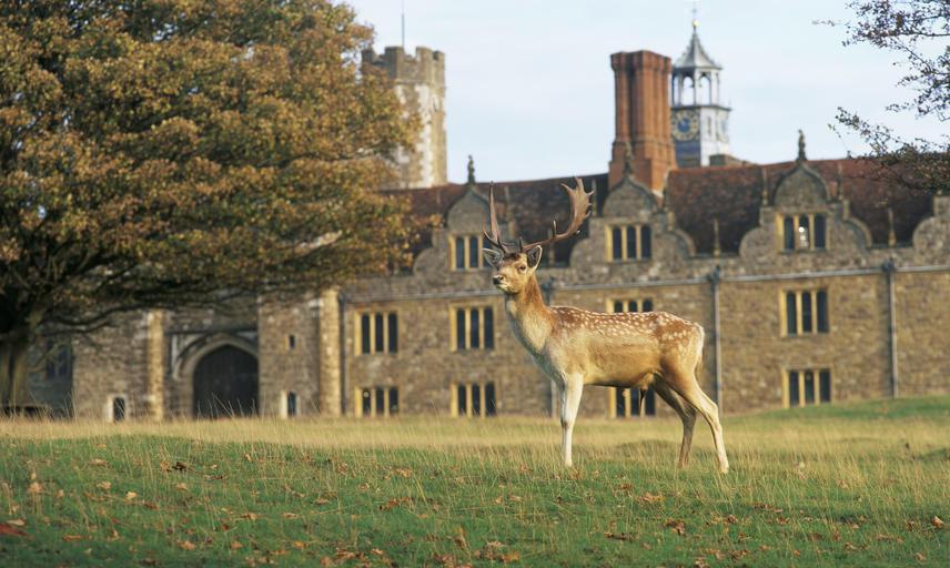 A deer at Knole