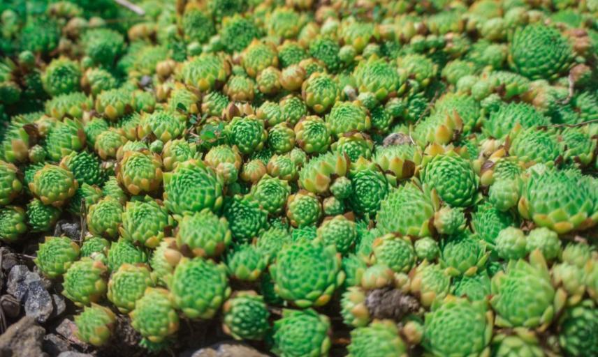 group of succulent plants
